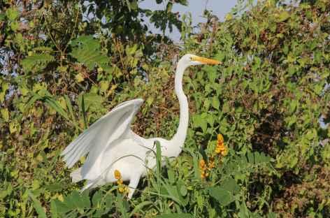 Aigrette Au bord du fleuve Magdalena - Colombie -