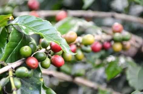 Balade dans une plantation de café - Colombie -