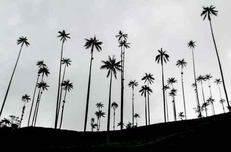 Les fameux palmiers de cire de la région du café - Colombie -