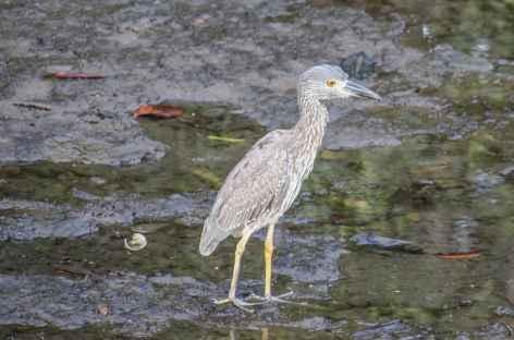 Un oiseau dans la mangrove - Colombie -