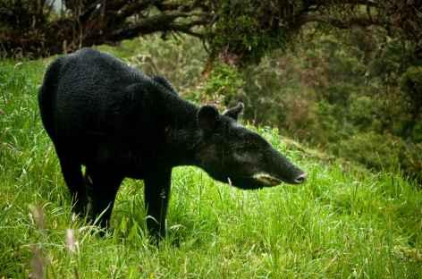 Tapir de montagne dans le parc national Los Nevados - Colombie -