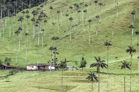 Palmiers de cire dans la vallée de Cocora - Colombie -