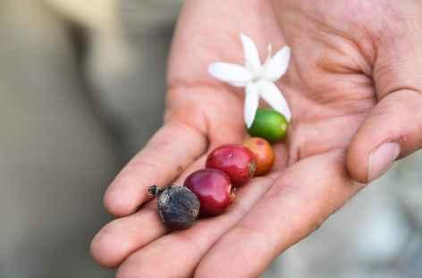 Fleur et grains de café - Colombie -