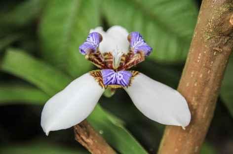 Fleur tropicale - Colombie -