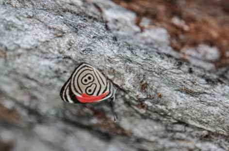 Papillon - Colombie - Colombie -