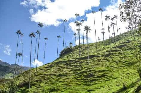 Palmiers de cire - Colombie -