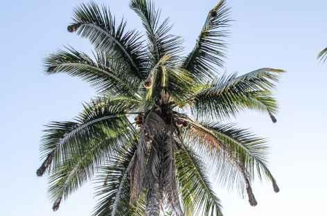 Cocotiers et nids d'oiseaux - Colombie -