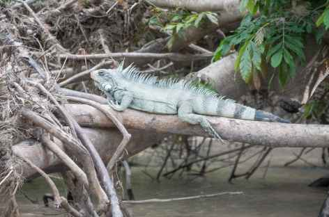 Iguane Cano Cristales -