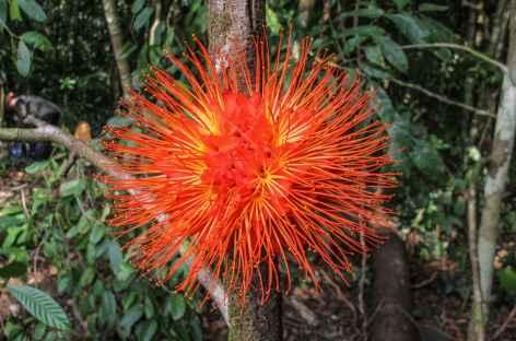 Etrange fleur du Pacifique - Colombie -