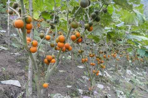 Plantation de Lullo - Colombie -