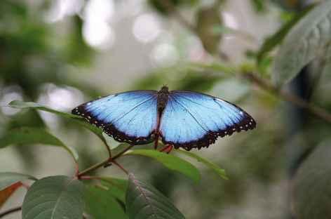 Le papillon morpho - Costa Rica -