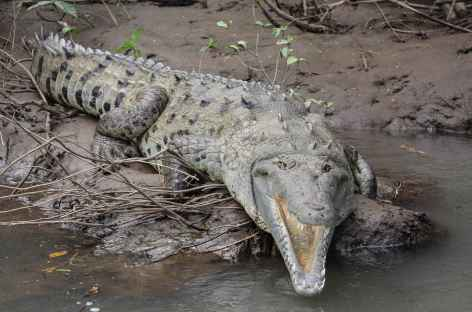 Un crocodile impressionnant sur la rivière Tarcoles - Costa Rica -