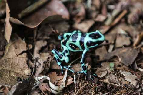 Les fameuses grenouilles - Costa Rica -