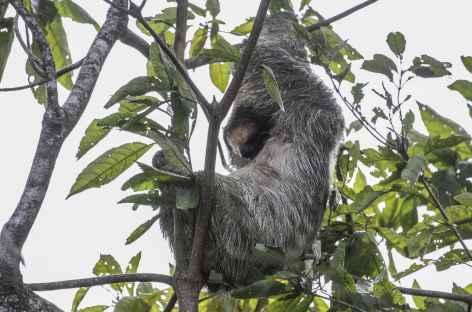 Rencontre avec un paresseux - Costa Rica -