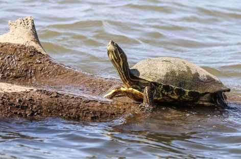 Observation d'une tortue sur les canaux de Tortugero - Costa Rica -