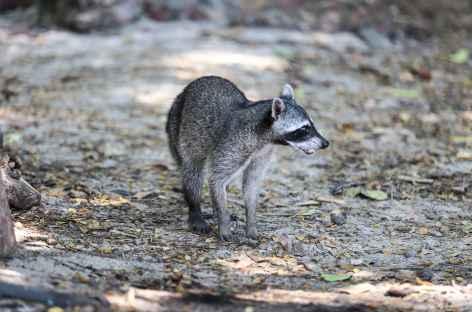 Rencontre avec un coati à Corcovado - Costa Rica -