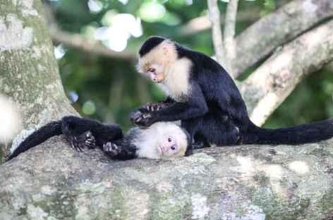 Deux singes capucins s'épouillent - Costa Rica -