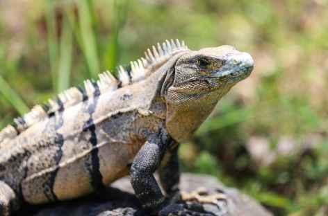 Un iguane - Costa Rica -