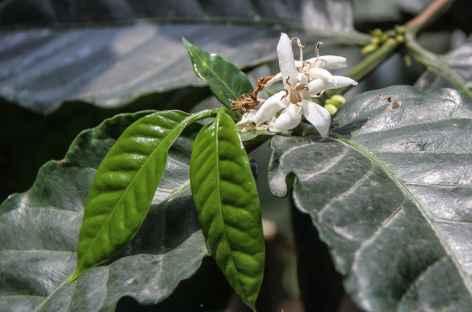 Une fleur de caféier - Costa Rica -