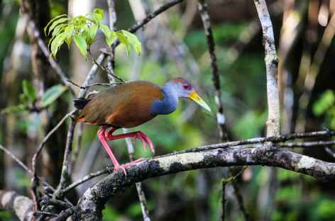 Observation des oiseaux - Costa Rica -