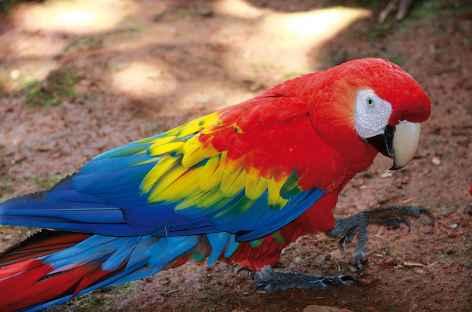 Un aras dans toute sa splendeur !  - Costa Rica -