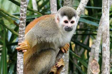 Rencontre avec un singe écureuil - Costa Rica -