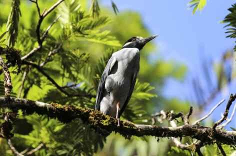 Héron de nuit à couronne jaune - Costa Rica -