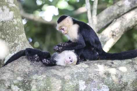 Singe Capucin - Costa Rica -