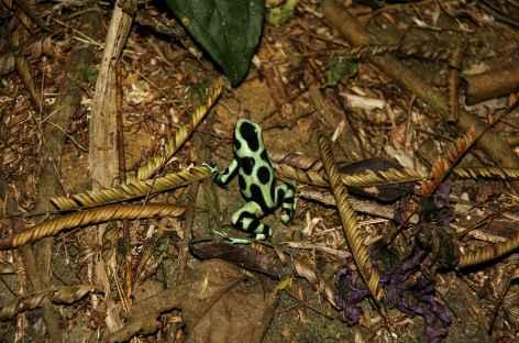 Grenouille verte et noire à Sarapiqui - Costa Rica -