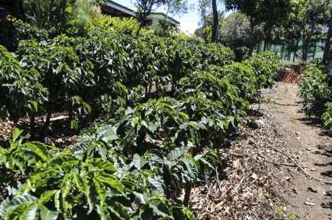 Plantation de café - Costa Rica -