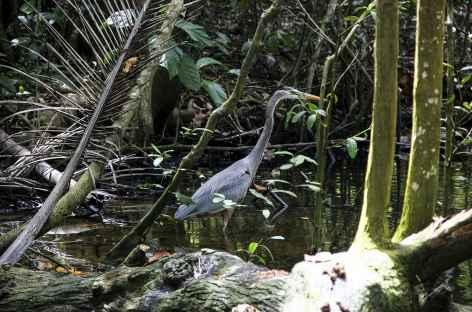Héron - Costa Rica -