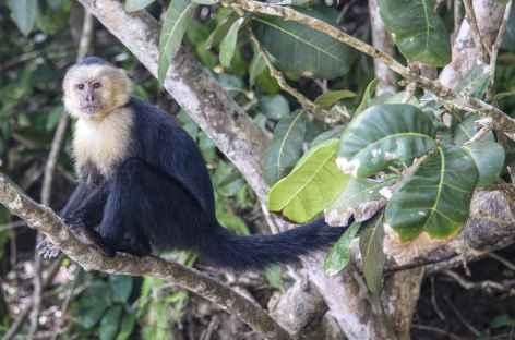 Un singe capucin dans le parc national Manuel Antonio - Costa Rica -