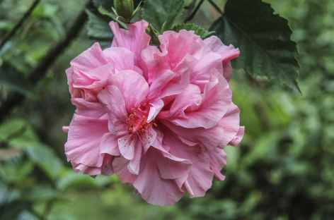 Fleur tropicale - Costa Rica -