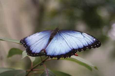 Un papillon morpho - Costa Rica -