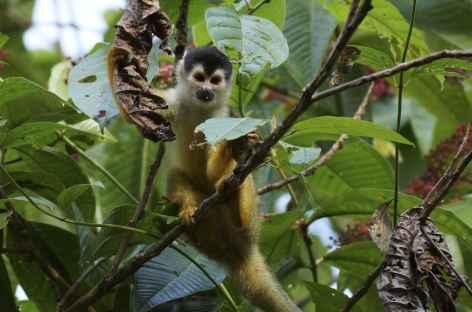 Singe écureuil - Costa Rica -