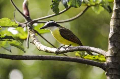 Le Bienteveo Grande - Costa Rica -