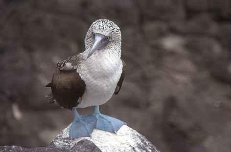 Un fou à pattes bleues sur l'île de la Plata - Equateur -