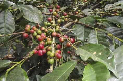 Caféier dans la vallée d'Intag - Equateur -