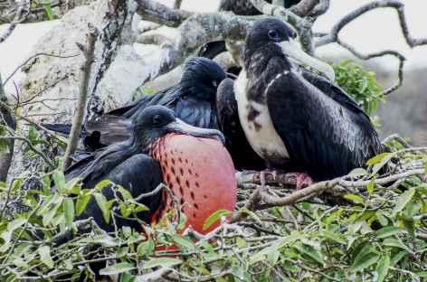 Une frégate mâle en parade de séduction - Equateur -