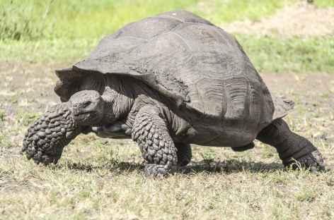 Archipel des Galapagos, rencontre avec une tortue géante en pleine nature ! (île Santa Cruz) - Equateur -