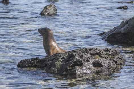 Archipel des Galapagos, une otarie sur la plage Loberia (île San Cristobal) - Equateur -