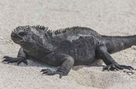 Archipel des Galapagos, un iguane marin (île San Cristobal) - Equateur -