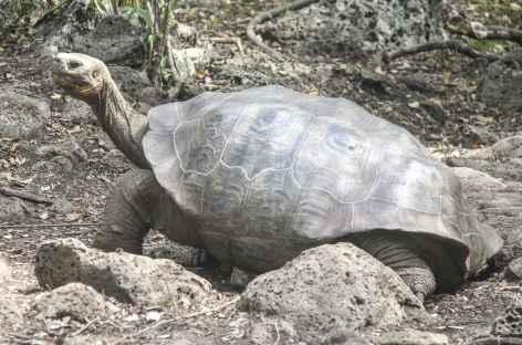 Archipel des Galapagos,  une tortue géante (île San Cristobal) - Equateur -