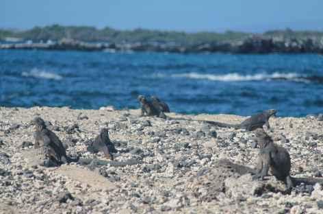 Iguanes sur l'île Isabela - Equateur -