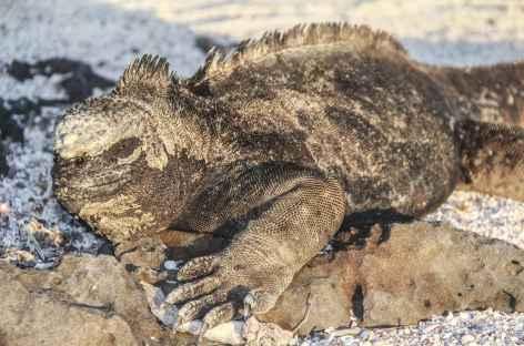 Archipel des Galapagos, un iguane marin sur la plage Loberia (île San Cristobal) - Equateur -