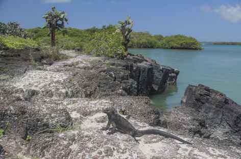 Archipel des Galapagos, cactus Opuntia, plage et iguane marin (île Santa Cruz) - Equateur -