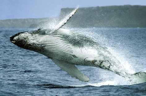 Baleine à bosse sur le chemin de l'île de la Plata - Equateur -