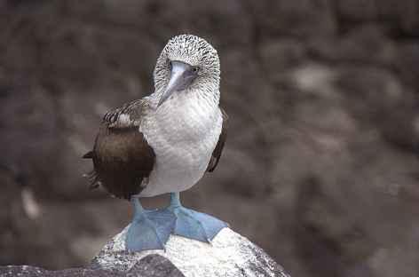 Fou à pattes bleues - Equateur -