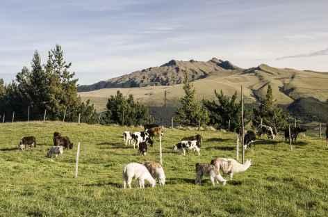 Lamas et volcan Pasochoa depuis l'hacienda El Porvenir - Equateur -
