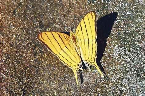 Papillon en Amazonie - Equateur -